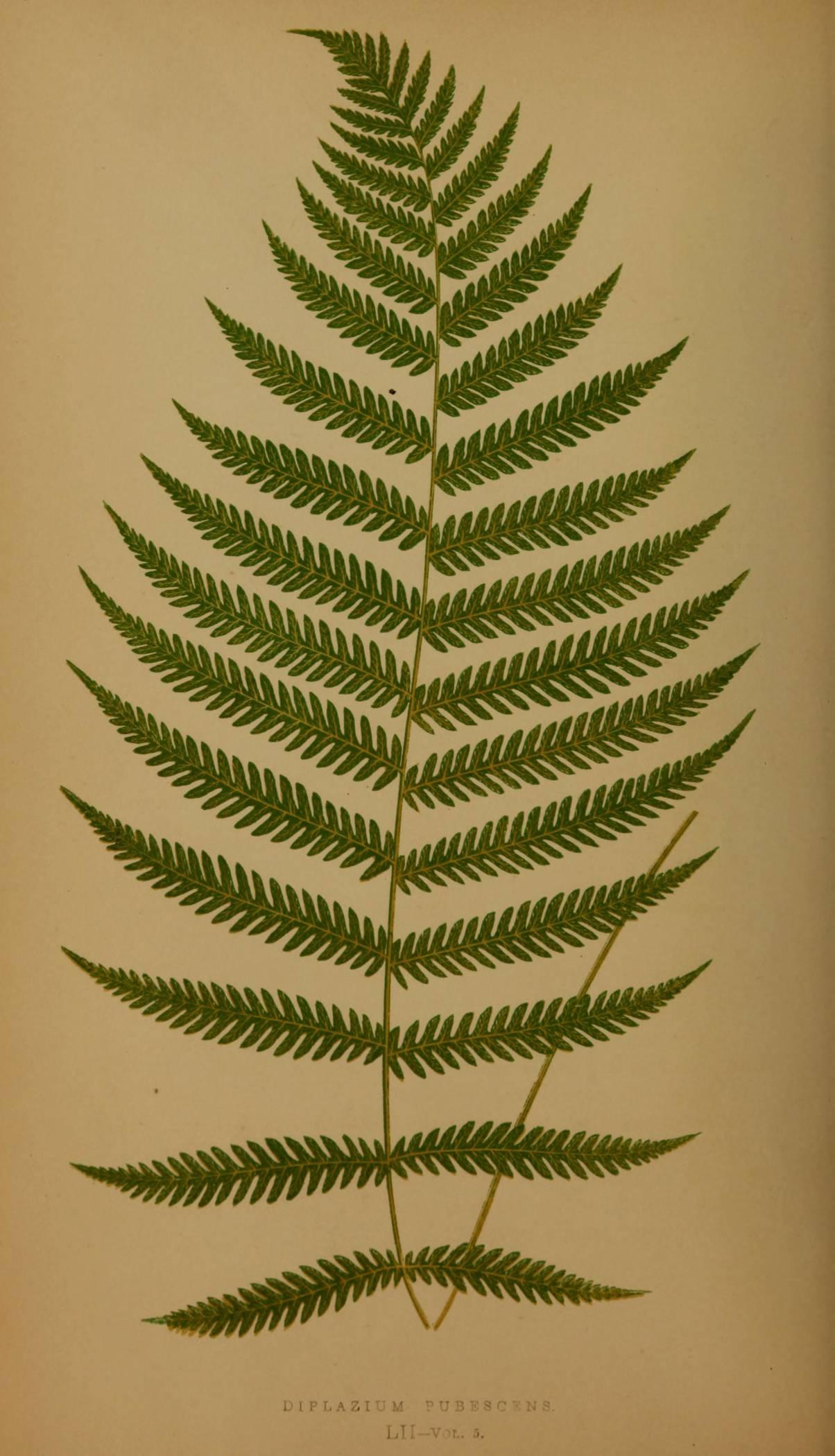 Athyriaceae image