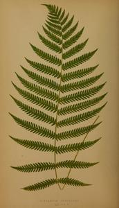 Image of Diplazium esculentum